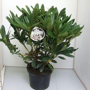 Rhododendron MIX (De Jong Plant BV)