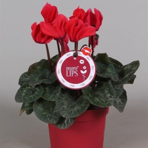 Cyclamen persicum SUPER SERIE S ALLURE RED