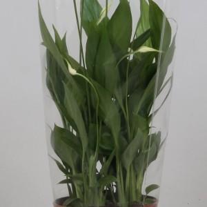 Spathiphyllum 'Korto' (Kwekerij J. de Groot BV)