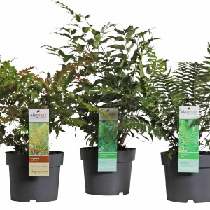 Ferns MIX (Hoogeveen Plants)