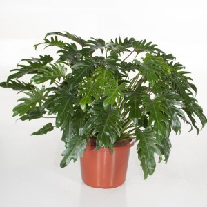 Philodendron xanadu (Ammerlaan, The Green Innovater)
