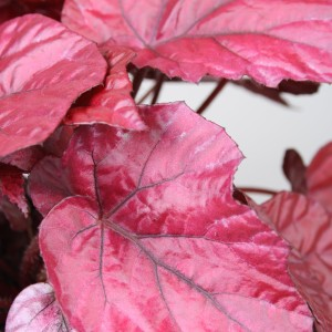 Begonia BELEAF INCA FLAME (Berghoef Plants)