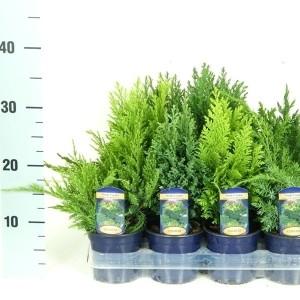 Conifers MIX (Kwekerij Vredebest)