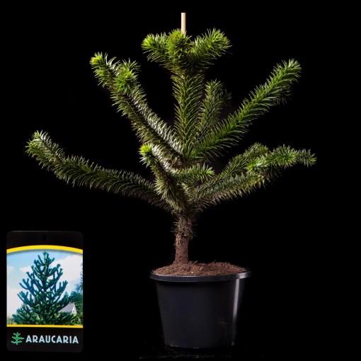 Araucaria araucana (van Tol & Co)