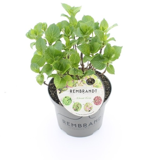 Hydrangea macrophylla REMBRANDT VIBRANT VERDE (De Jong Plant BV)