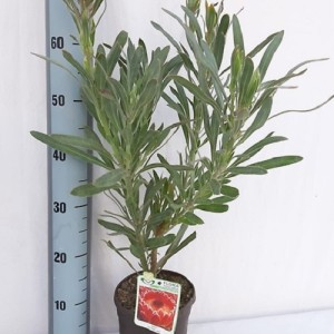 Protea 'Juliet' (Flora Toscana)