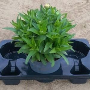 Leucanthemum x superbum WHITE MOUNTAIN (Experts in Green)