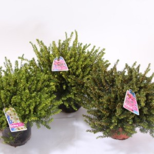 Erica x darleyensis MIX (Experts in Green)