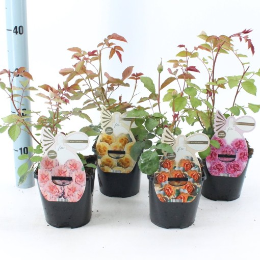 Rosa MIX (About Plants Zundert BV)