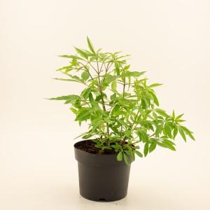 Vitex agnus-castus latifolia