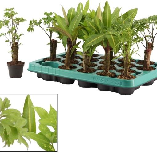 Foliage plants MIX (Kwekerij Duijn-Hove B.V.)
