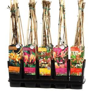 Lonicera MIX (Hoogeveen Plants)
