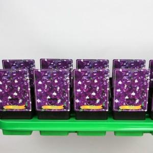 Delphinium 'Aurora Deep Purple'