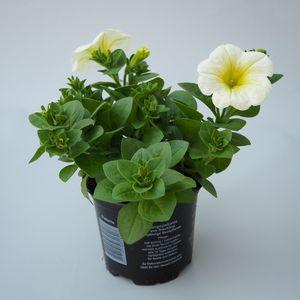 Petunia POTUNIA PLUS YELLOW (Sonneveld Plants)