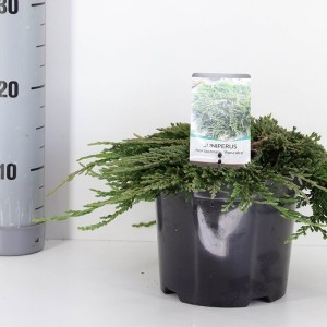 Juniperus horizontalis 'Pancake' (Bremmer Boomkwekerijen)