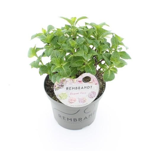 Hydrangea macrophylla REMBRANDT ELEGANT ROSA (De Jong Plant BV)