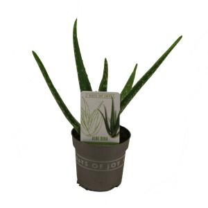 Aloe vera (Van der Valk bv)