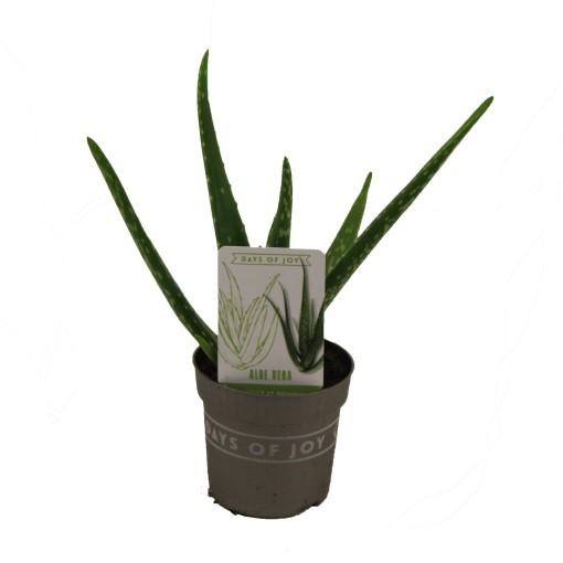 Aloe vera (Valk bv, van der)