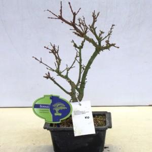Acer palmatum 'Kotohime'