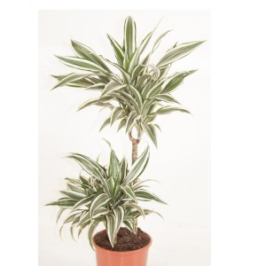 Dracaena fragrans 'White Jewel' (Ammerlaan )