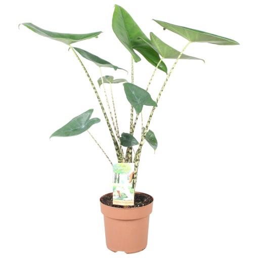 Alocasia zebrina (Vireõ Plant Sales)