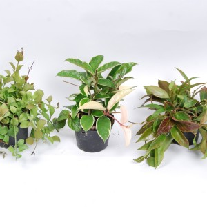 Hanging plants MIX (Van der Arend Tropical Plantcenter)