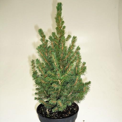 Picea glauca 'Conica' (FlevoFlora)