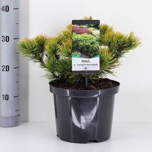 Pinus mugo 'Carsten' (Bremmer Boomkwekerijen)