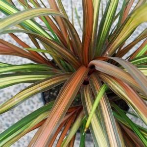 Cordyline 'Cha Cha' (About Plants Zundert BV)