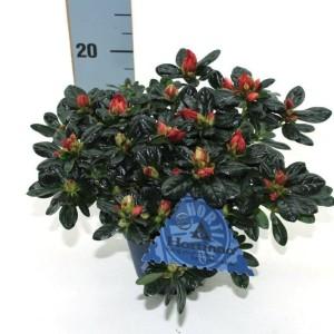 Rhododendron HORTINNO CHRISTINE MAGIC