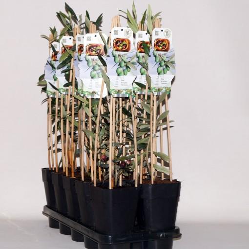 Olea europaea 'Cipressino' (BOGREEN Outdoor Plants)