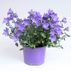 Campanula cochleariifolia SPRING BELL BLUE