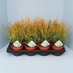 Euphorbia tirucalli stramineus