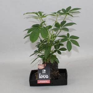 Schefflera arboricola (Kwekerij Zeurniet)
