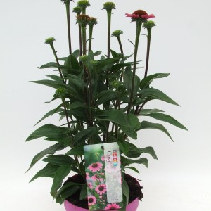 Echinacea purpurea (Kwekerij Scholte)