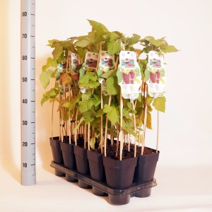 Rubus x loganobaccus THORNLESS LOGANABERRY