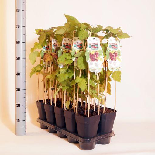 Rubus x loganobaccus THORNLESS LOGANABERRY (BOGREEN Outdoor Plants)