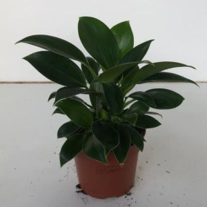 Philodendron 'Green Princess'