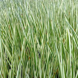 Acorus calamus 'Variegatus' (van der Velde Waterplanten BV)