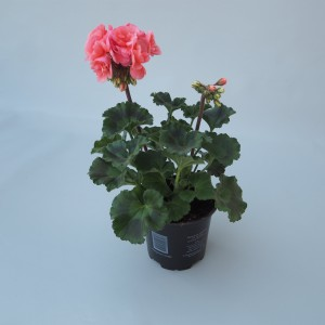 Pelargonium TOSCANA SÖREN (Sonneveld Plants)