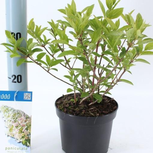 Hydrangea paniculata MAGICAL FIRE (About Plants Zundert BV)