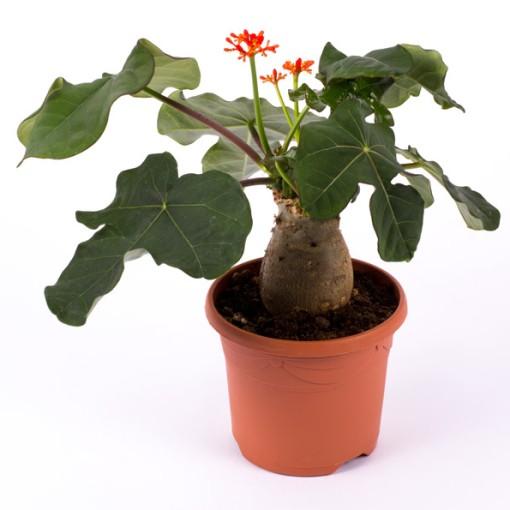 Jatropha podagrica (Gasa DK)