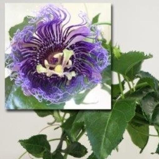 Passiflora edulis (Plantcare BVBA)