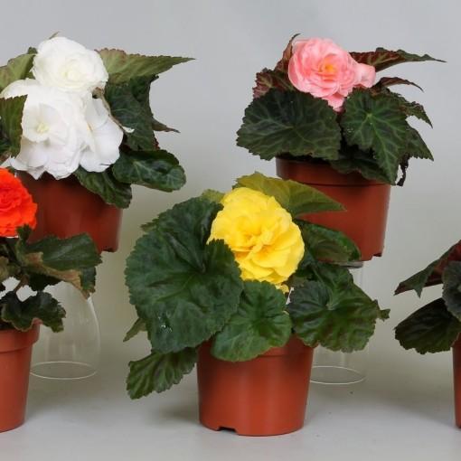 Begonia TUBERHYBRIDA MIX (Groot BV, Kwekerij J. de)