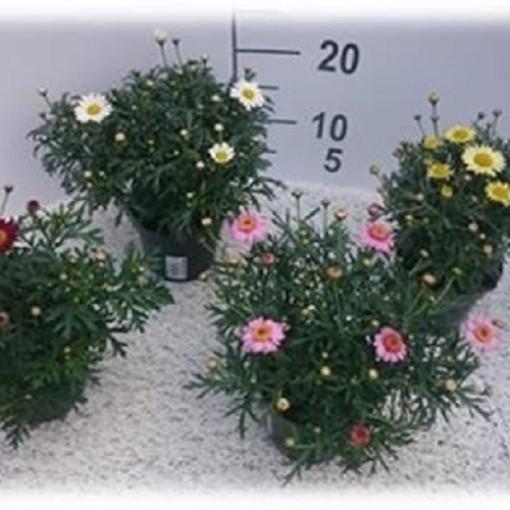 Argyranthemum frutescens LA RITA MIX (Experts in Green)
