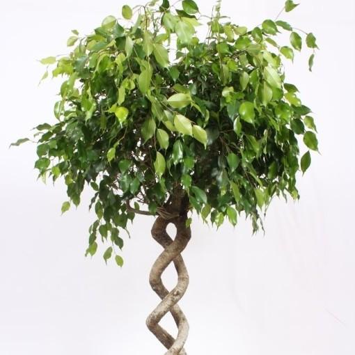 Ficus benjamina 'Exotica' (Fachjan)