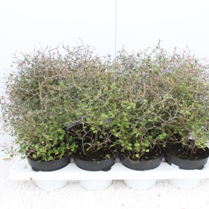 Muehlenbeckia complexa (Experts in Green)