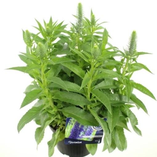 Veronica spicata 'Ulster Dwarf Blue' (Noordpoel, Kwekerij de)