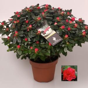 Rhododendron 'Otto'