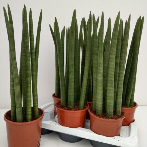 Sansevieria cylindrica 'Straight' (RuBa Baers)